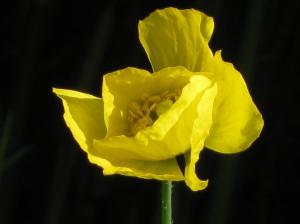 gele klaproos