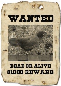 Wanted: zwarte kip